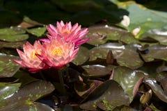 Lírios de água com flores vermelhas Imagens de Stock Royalty Free