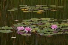 Lírios de água cor-de-rosa Imagem de Stock Royalty Free