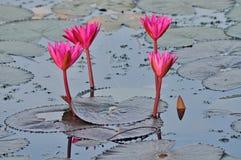 Lírios de água cor-de-rosa imagens de stock