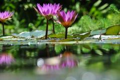 Lírios de água cor-de-rosa em uma associação de água Foto de Stock Royalty Free