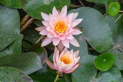 Lírios de água cor-de-rosa Fotografia de Stock Royalty Free