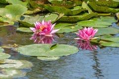 Lírios de água cor-de-rosa com as rãs no tiro do close-up na lagoa local fotografia de stock royalty free