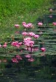 Lírios de água cor-de-rosa na lagoa fotografia de stock