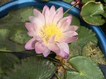 Lírios de água cor-de-rosa tropicais fotos de stock royalty free