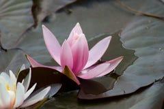 Lírios de água da flor Fotografia de Stock Royalty Free