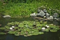Lírios de água de florescência Foto de Stock
