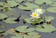 Lírios de água e bladderworts Imagem de Stock