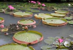 Lírios de água em um lago fotografia de stock royalty free