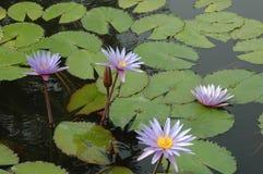 Lírios de água em uma lagoa fotos de stock