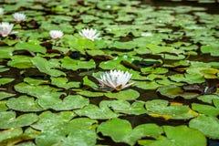 Lírios de água em uma lagoa Folhas da flor branca e do verde Imagem de Stock