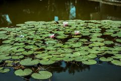 Lírios de água em uma lagoa Folhas da flor branca e do verde Fotografia de Stock