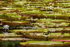 Lírios de água gigantes fotos de stock