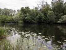 Lírios de água Lago pequeno na floresta Fotos de Stock