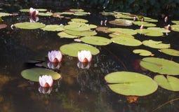 Lírios de água A lagoa no parque de Pena Fotos de Stock Royalty Free