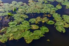 Lírios de água na água Fundo brilhante dos waterlillies sobre Fotografia de Stock Royalty Free