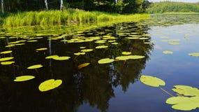 Lírios de água na lagoa Fotografia de Stock Royalty Free