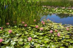 Lírios de água na lagoa fotos de stock royalty free