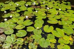 Lírios de água na lagoa pequena em Wirty Imagens de Stock Royalty Free
