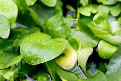 Lírios de água no água-jardim Fotografia de Stock Royalty Free