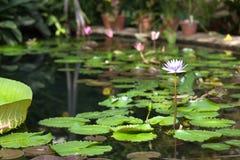 Lírios de água no jardim botânico St Petersburg Rússia fotografia de stock royalty free
