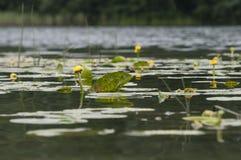 Lírios de água no lago Fotografia de Stock