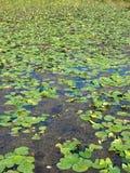 Lírios de água no lago Fotos de Stock Royalty Free