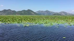 Lírios de água no lago Skadar Caminhada pelo lago bonito no barco Dia de verão, água azul Lago enorme Skadar Montenegro filme