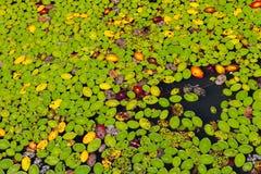 Lírios de água que cobrem a lagoa próxima Imagem de Stock