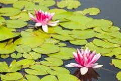 Lírios de água roxos em um fundo da folha. Fotografia de Stock Royalty Free