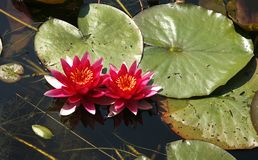 Lírios de água vermelhos da flor com as folhas do gree do bigh imagem de stock royalty free