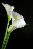 Lírios de Calla imagens de stock royalty free