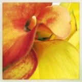 Lírios de calla alaranjados e amarelos Foto de Stock