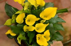 Lírios de calla amarelos na flor fotografia de stock