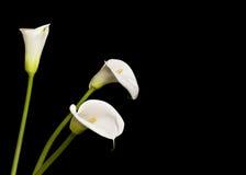Lírios de calla bonitos Fotografia de Stock