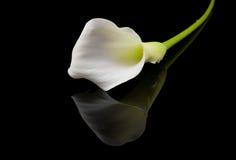 Lírios de Calla brancos bonitos Fotografia de Stock Royalty Free