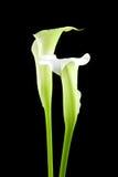 Lírios de Calla brancos bonitos imagem de stock royalty free