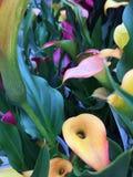Lírios de Calla coloridos Fotografia de Stock Royalty Free