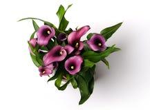 Lírios de calla roxos bonitos Imagens de Stock Royalty Free