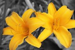 Lírios de dia amarelos Imagens de Stock