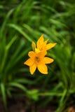Lírios de dia amarelos brilhantes em um parque imagens de stock royalty free
