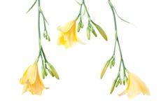 Lírios de dia amarelos frescos Imagem de Stock Royalty Free