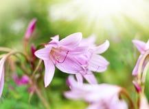Lírios de Rosé ou beladona de Amaryllis Imagem de Stock