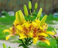 Lírios de tigre amarelos Imagem de Stock Royalty Free