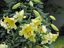 Lírios de um amarelo vibrante com as grandes pedais, flores e vagens Foto de Stock