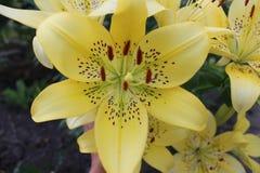 Lírios delicadamente amarelos Fotos de Stock Royalty Free