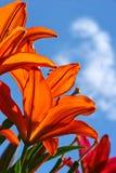 Lírios do jardim Fotografia de Stock Royalty Free