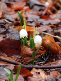 Lírios do vale que cresce entre as folhas, Munich 2015 foto de stock royalty free