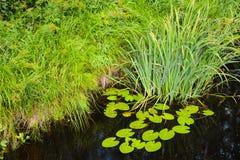 Lírios e juncos de água na água perto da costa verde imagem de stock