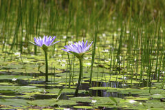 Lírios e lilly almofadas roxos na lagoa fotos de stock