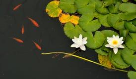 Lírios e peixes de água imagens de stock royalty free